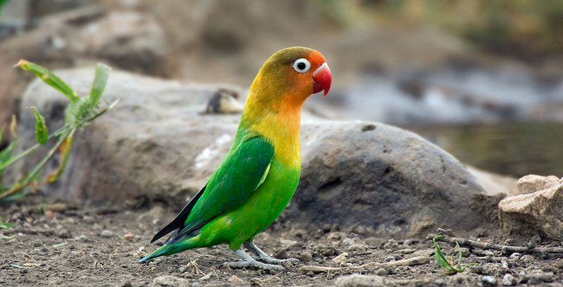 5 Cara Melatih Lovebird Ngekek Panjang Seperti Perawatan Lovebird Kusumo