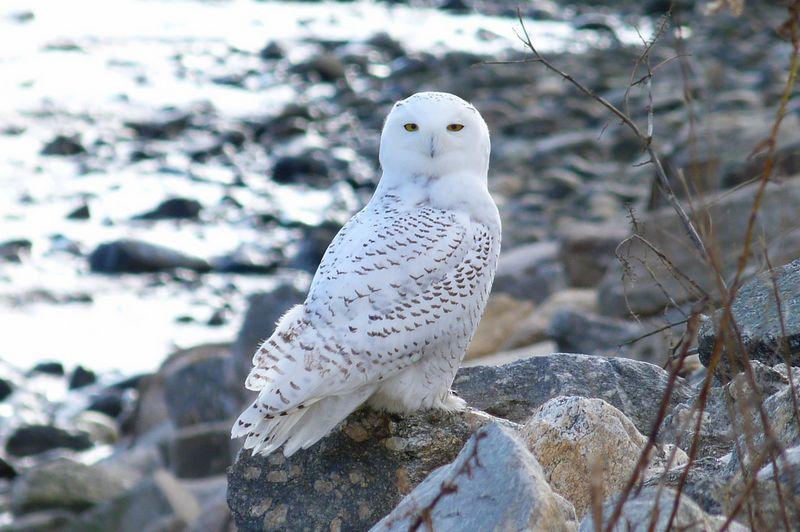 Burung Hantu Snowy Owl (birdwalpaper.blogspot.co.id)