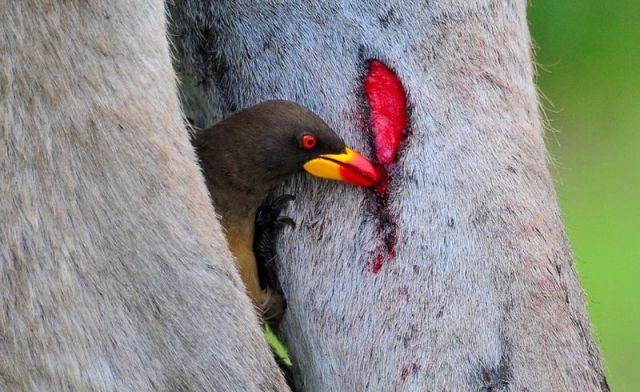 4 Jenis Burung Penghisap Darah Paling Mengerikan