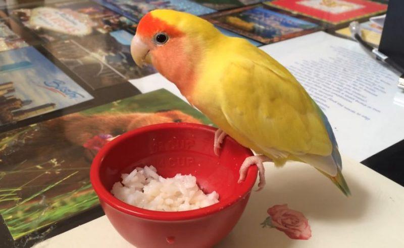 Lovebird makan nasi (youtube.com)