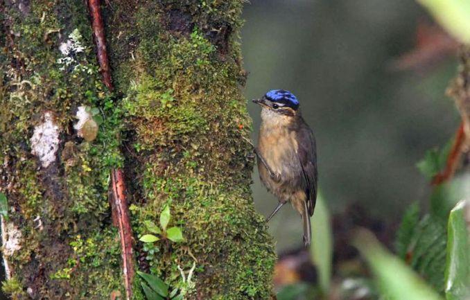 Burung Blue-capped ifrita (gwghost.blogspot.co.id)