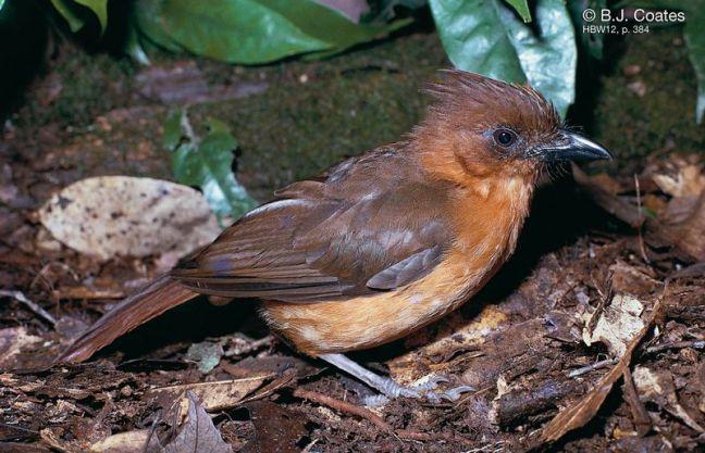 Burung Crested pitohui (hbw.com)