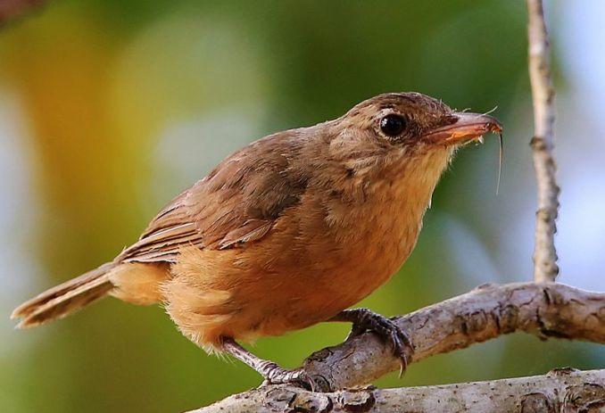 Burung Little shrikethrush (tytotony.blogspot.co.id)