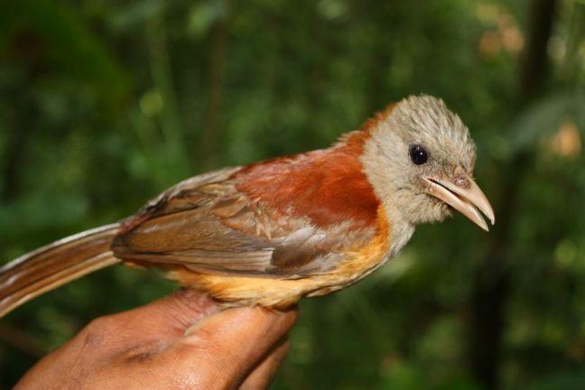 Burung Pitohui kirhocephalus (pngbirds.myspecies.info)