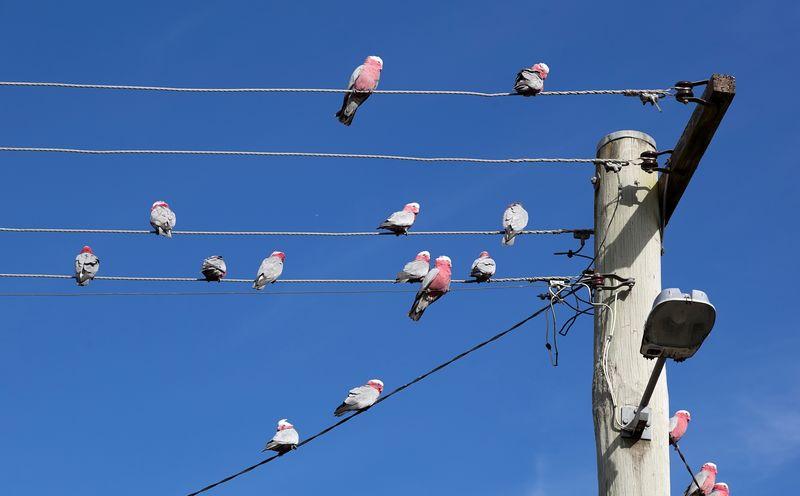 Burung tidak kesetrum listrik (capitafinance.com.au)