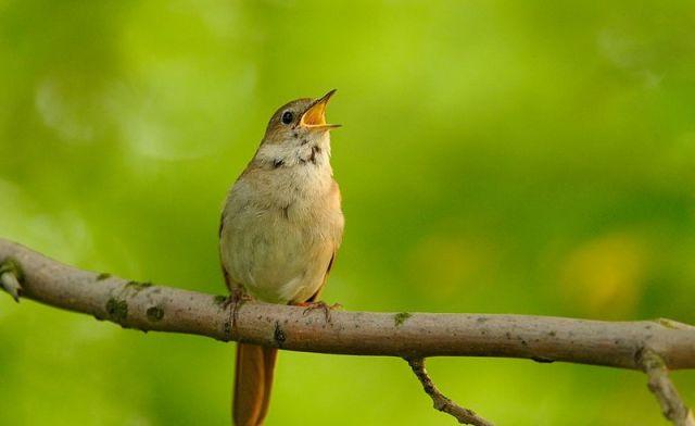 Lebih Bagus Suara Burung Common Nightingale atau Burung Thrush Nightingale?