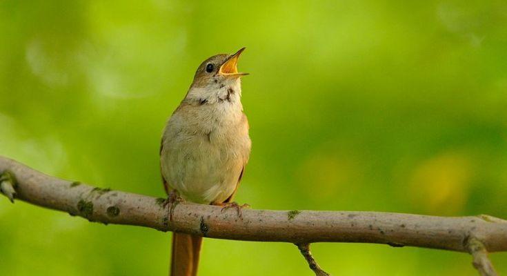 Burung Common Nightingale (wlodeksmardz.pl)