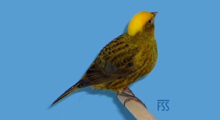 Burung Kenari Lizard (finespangledsort.com)