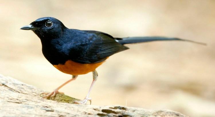Burung Murai Batu (flickr.com)