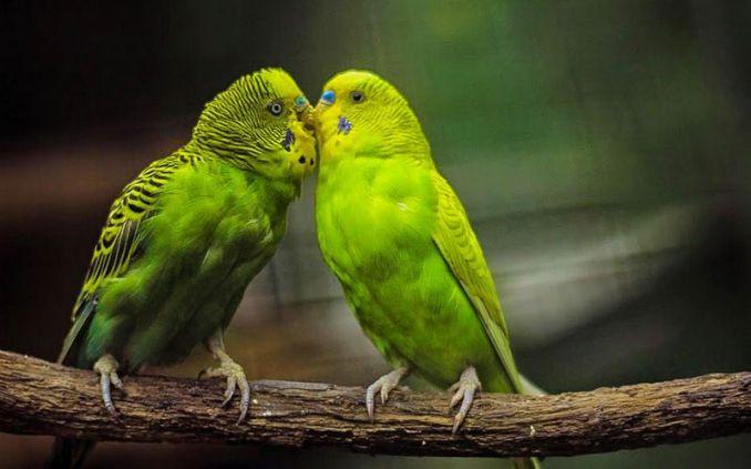 Burung Parkit (gloob-online.com)