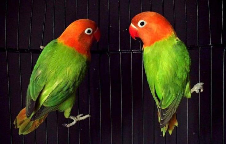 Lovebird Biola (instarix.com)
