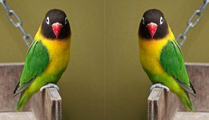 Lovebird Dakocan (aboutkenari.blogspot.co.id)