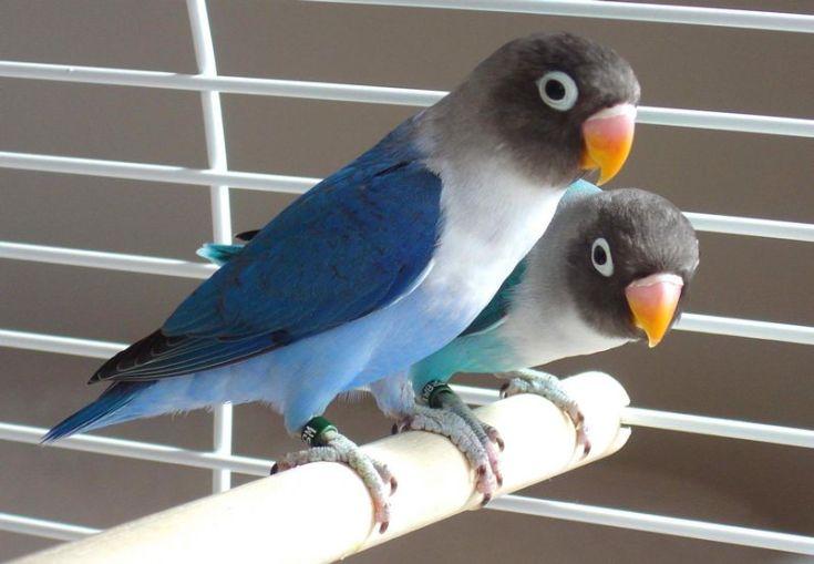 Lovebird Violet (pinterest.com)