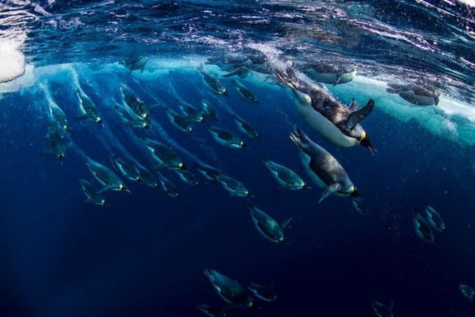 Penguin Emperor (Paul Nicklen-NG-WWF-theguardian.com)