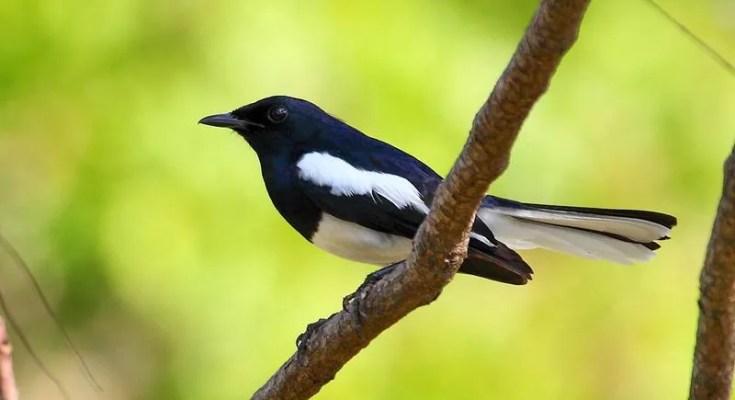 Burung Kacer langka (hbw.com)