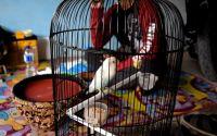 Lovebird Mbah Marijan (YouTube.com)