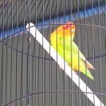 Lovebird Jhoni Jr nagen satu titik (YouTube.com)