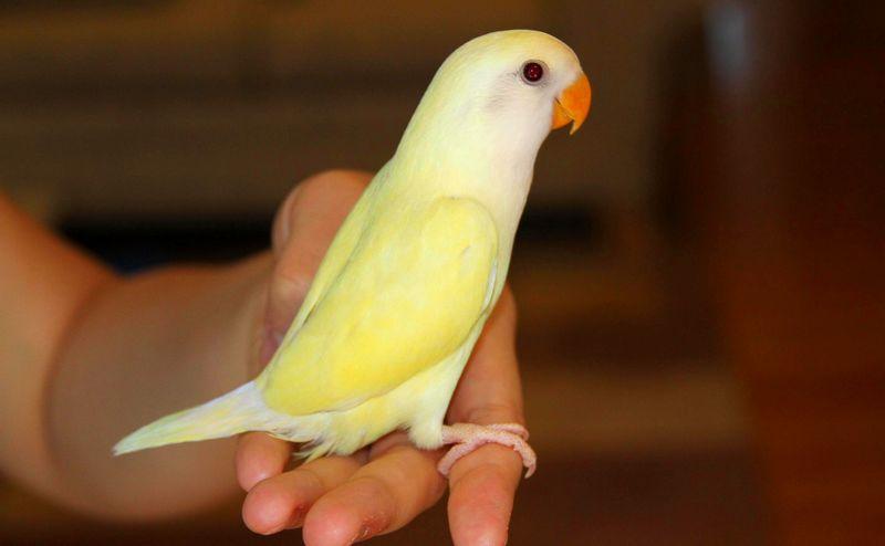 Lovebird Pastel (Gambartop.com)