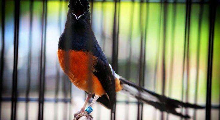 Burung Murai Batu gacor (YouTube.com)