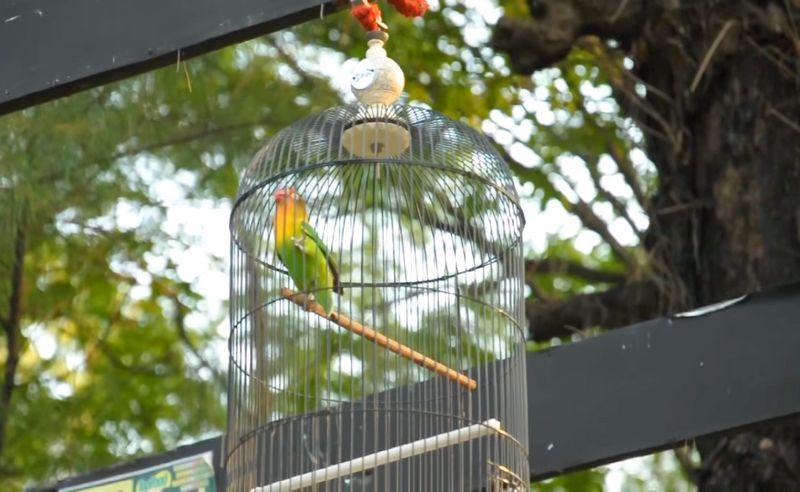 Ngekek Panjang 5 Menit, Lovebird Marco Terjual di Atas Rp 500 Juta