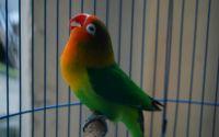 Harga Lovebird termahal di Indonesia (setelanburungkicau.blogspot.com)