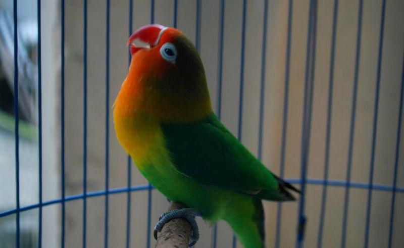 10 Lovebird Termahal di Indonesia Setelah Menang Lomba
