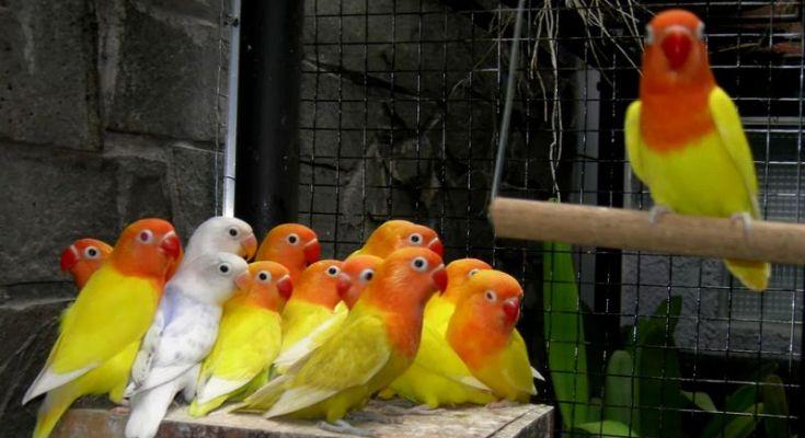 Pencurian burung Lovebird (Kaskus.co.id)