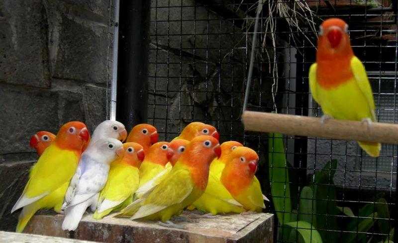 Pencurian Burung Lovebird di Sampang Sangat Meresahkan Warga