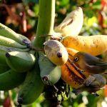 Saripati buah pisang untuk burung Pleci (juliescamera.com)