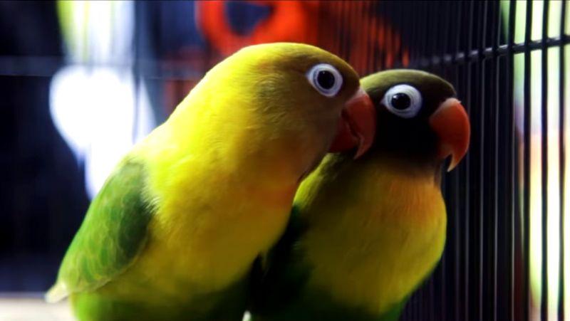 Setelah Diternak, Begini Penampilan Pertama Lovebird Kusumo Bersama Pasangan