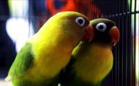 Lovebird Kusumo bersama pasangannya (YouTube.com)
