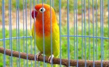 Lovebird Sizuka (YouTube.com)