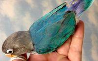 Mengecek Lovebird paud atau Lovebird dewasa (pinterest.com)