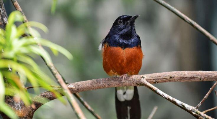 Suara Murai Batu serak (zoovolunteering.blogspot.com)