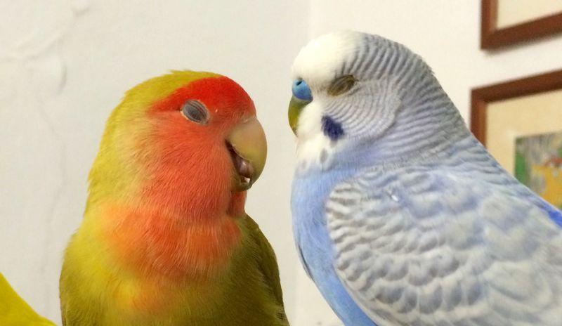 2 Cara Ternak Lovebird dan Parkit Lengkap dengan Hasil Silangan
