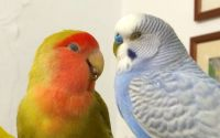Ternak Lovebird dengan Parkit (YouTube.com)