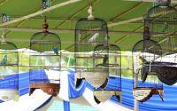 Lomba burung Lovebird dengan sensor perekam suara (youtube.com)