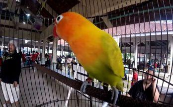 Lovebird Gendewo harga Rp 500 juta (youtube.com)