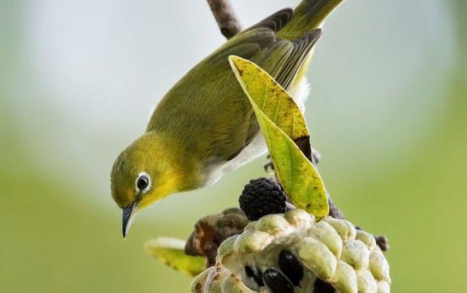 Buah yang bagus untuk burung Pleci (romyocon.net)