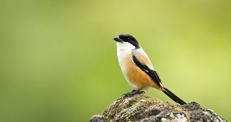 8 Dampak Negatif Pemberian Jangkrik pada Burung Cendet