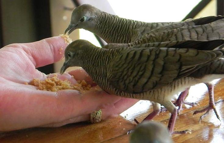 Burung Perkutut sudah jinak (birdsofallcolours.com)