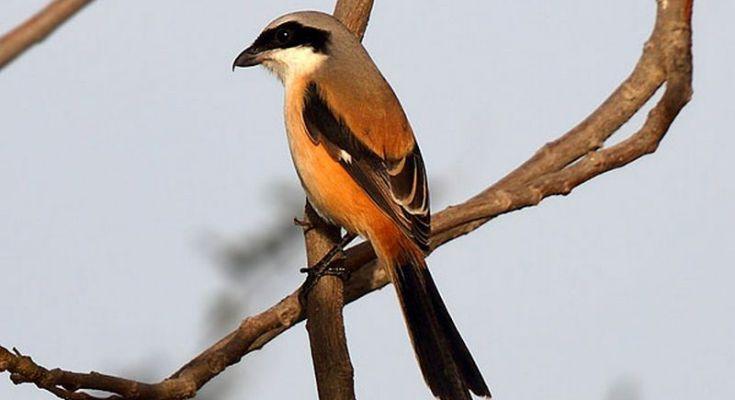 Gambar Burung Cendet Fighter (qatarbirds.org)