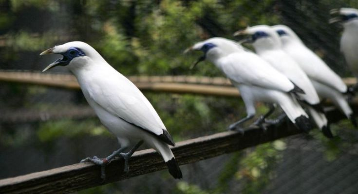 Harga burung Jalak Bali terbaru (asiancorrespondent.com)