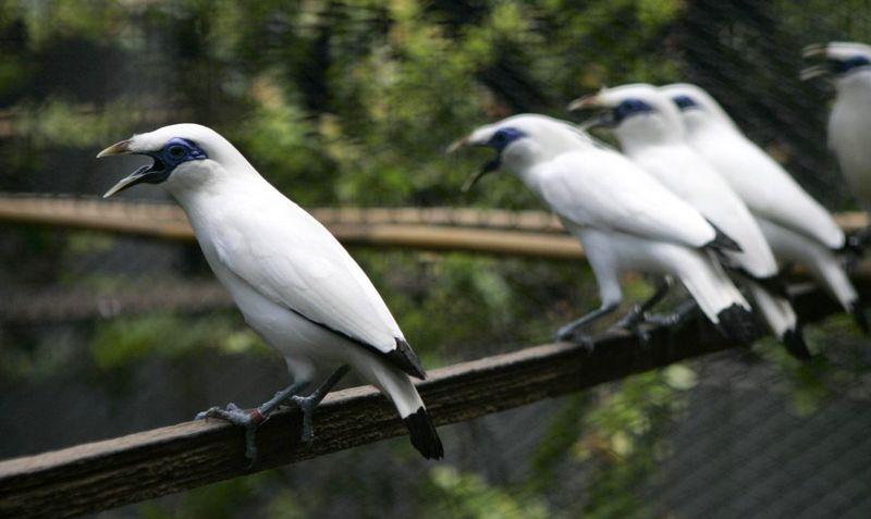 Daftar Harga Semua Jenis Burung Jalak Terbaru