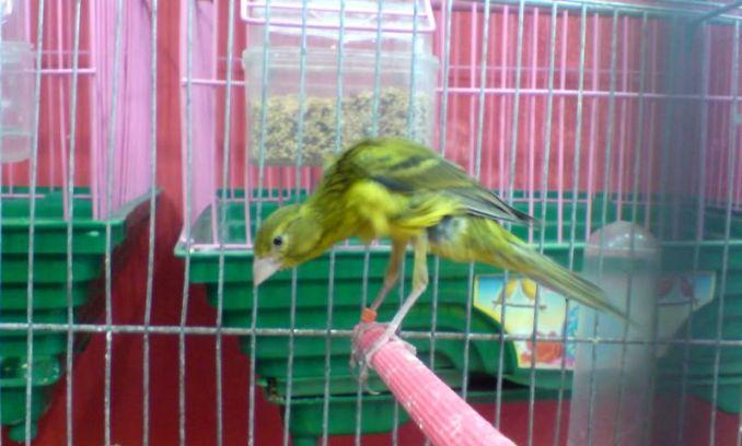 Jenis burung Kenari Persia (birdsplanet.com)