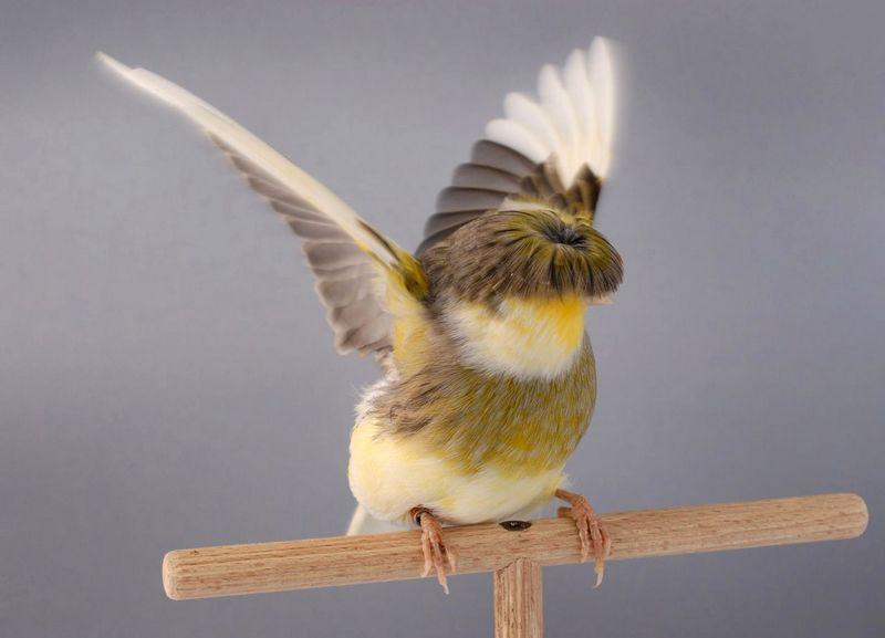 Jenis burung Kenari Stafford (pets4home.co.uk)