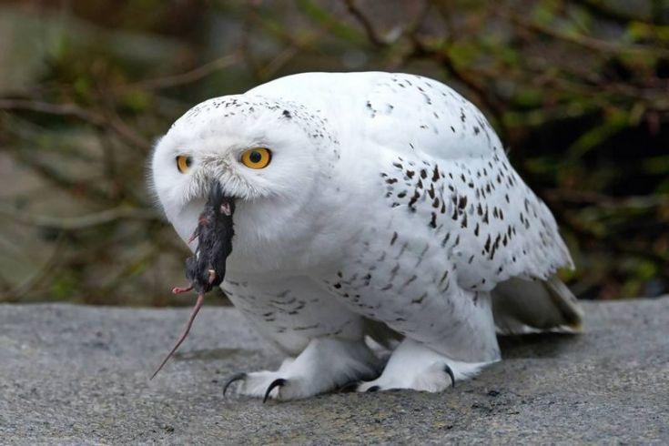 Burung Hantu Putih makan tikus (birdeden.com)