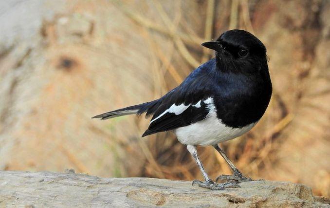 Burung Kacer macet bunyi akibat stres (sorout.com)