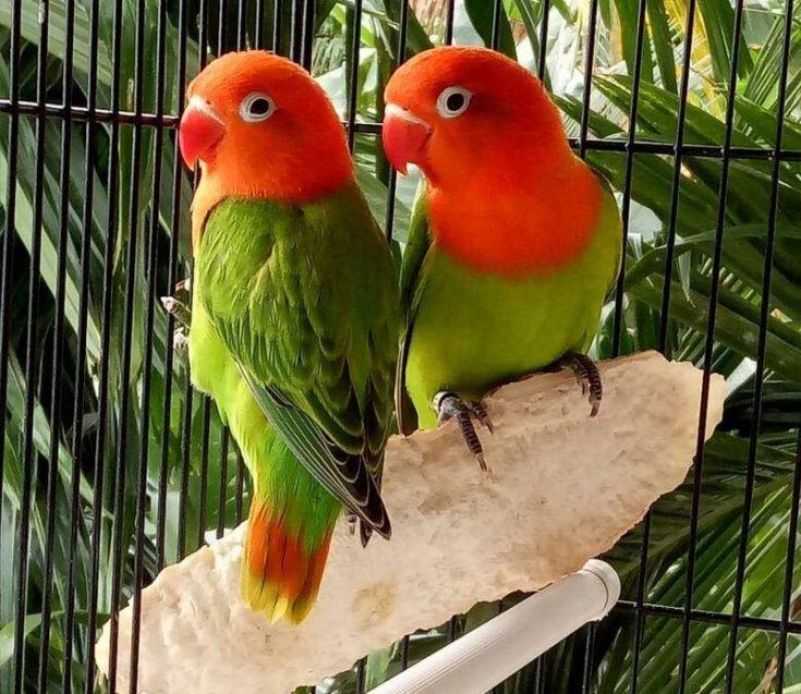 Ciri-ciri Lovebird Biola (steemit.com)