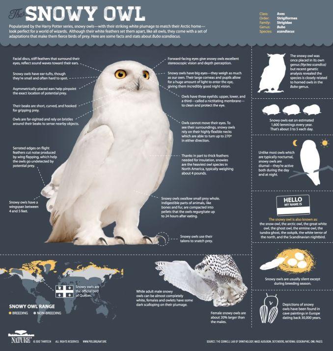 Ciri dan fakta menarik tentang burung Hantu Putih atau Snowy owl (pbs.org)